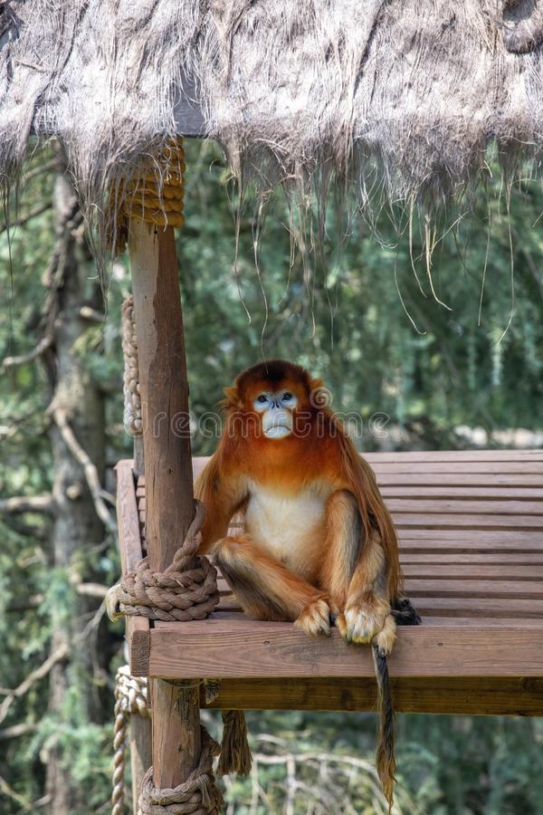 Les gibbons sont le nom g?n?ral pour les animaux de primat Ils sont appel?s pour leur longueur sp?ciale Les paumes sont plus long images libres de droits