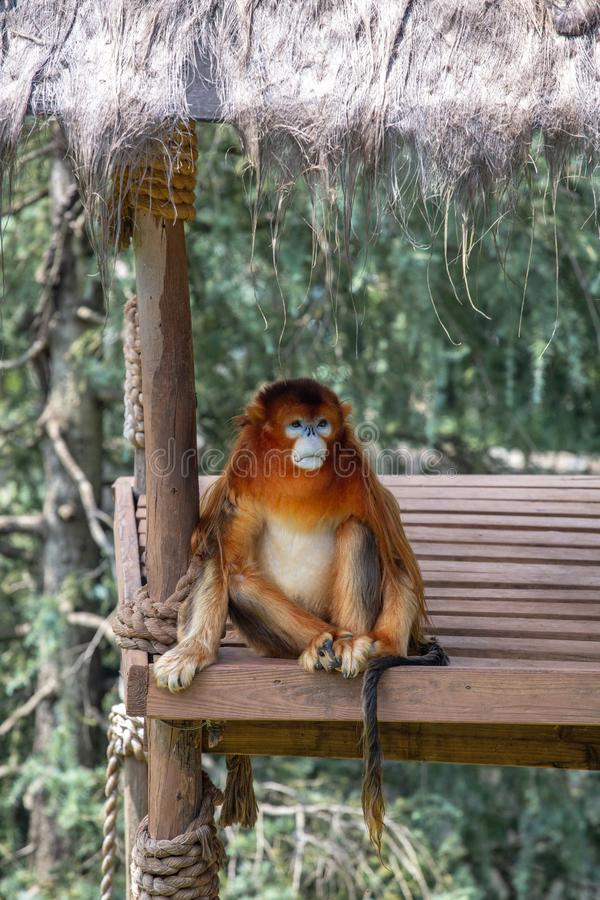 Les gibbons sont le nom g?n?ral pour les animaux de primat Ils sont appel?s pour leur longueur sp?ciale Les paumes sont plus long photo stock