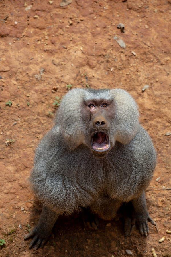 Les gibbons sont le nom g?n?ral pour les animaux de primat Ils sont appel?s pour leur longueur sp?ciale Les paumes sont plus long images stock