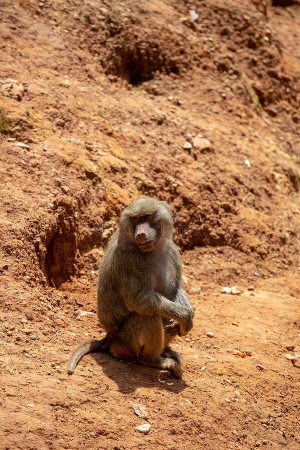 Les gibbons sont le nom g?n?ral pour les animaux de primat Ils sont appel?s pour leur longueur sp?ciale Les paumes sont plus long photos libres de droits