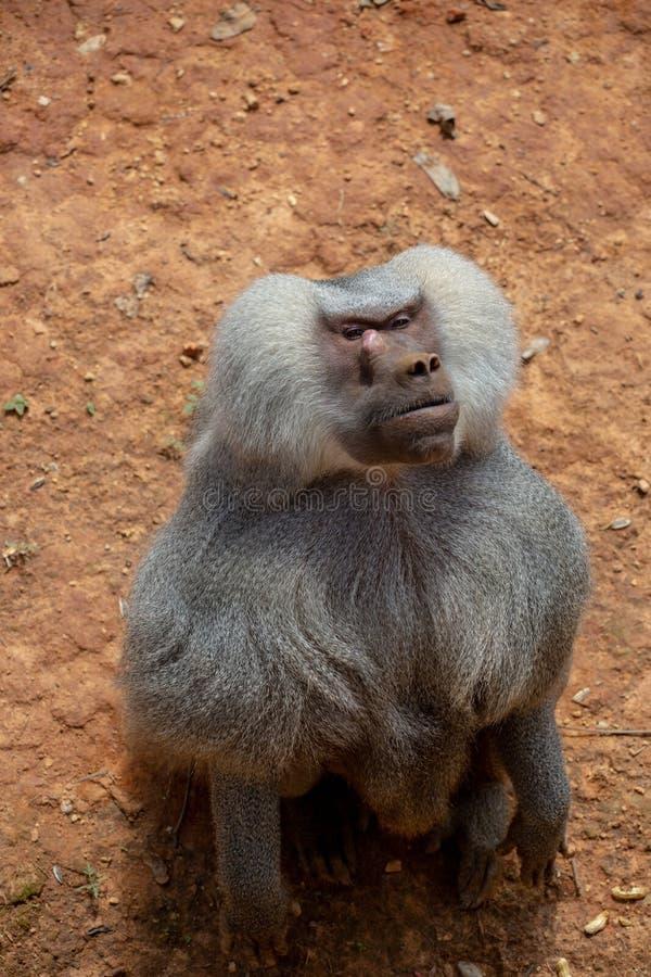 Les gibbons sont le nom g?n?ral pour les animaux de primat Ils sont appel?s pour leur longueur sp?ciale Les paumes sont plus long photographie stock
