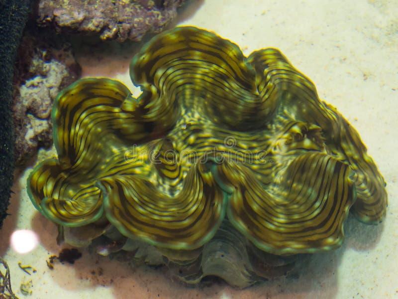 Les gigas de Tridacna est un genre de grande palourde d'eau de mer dans un aquarium image libre de droits