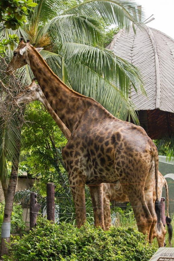 Les girafes dans le zoo mangent les feuilles photos libres de droits