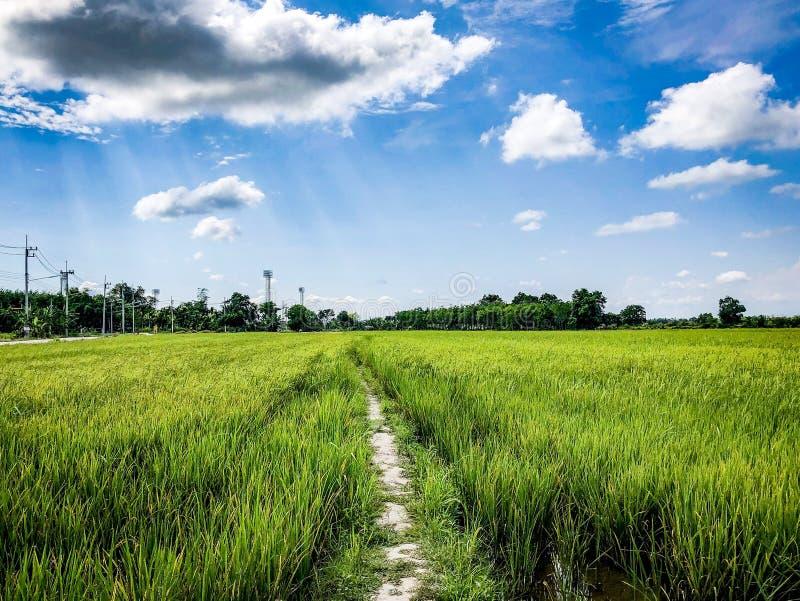 Les gisements de riz de vert photographie stock libre de droits