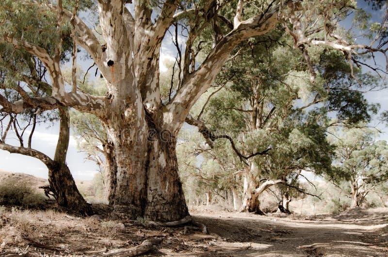 Les gommes rouges de rivière (camaldulensis d'eucalyptus) le long de la traînée de Heysen dans le Flinders s'étend, Australie du  images stock