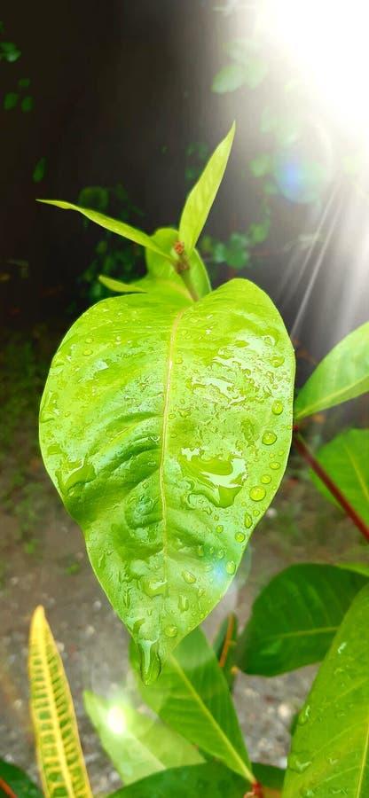 Les gouttes de pluie à la surface des feuilles images libres de droits