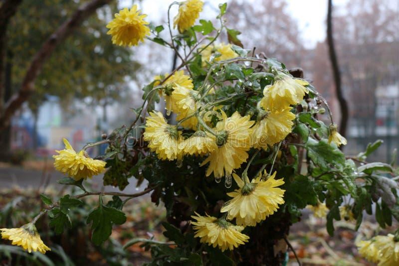 Les gouttes de pluie ont gelé sur les fleurs photographie stock libre de droits