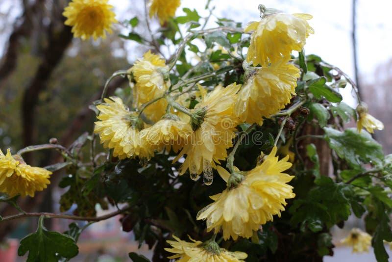 Les gouttes de pluie ont gelé sur les fleurs image libre de droits