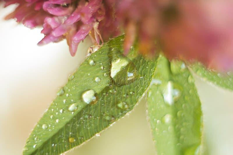 Les gouttes de pluie sur un trèfle poussent des feuilles avec un fond trouble photographie stock