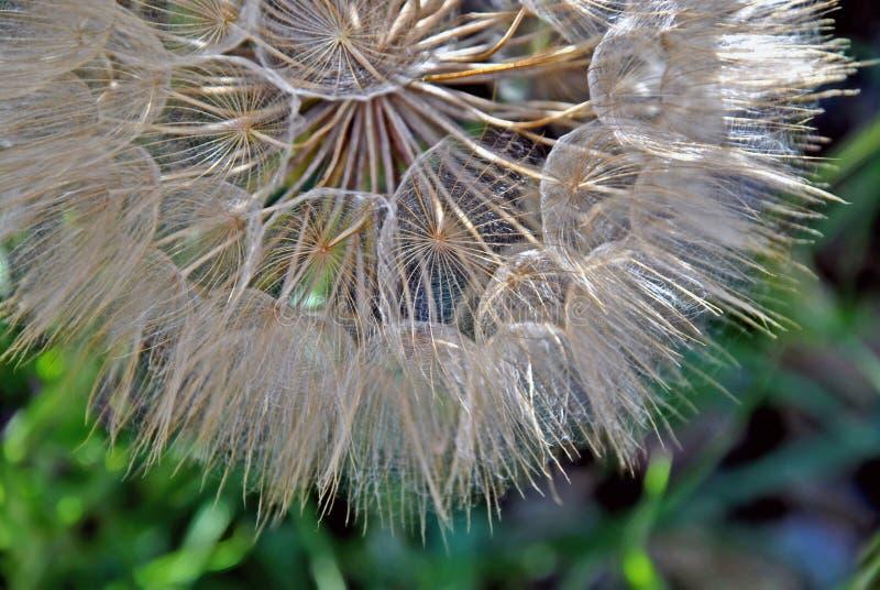 Les graines d'un salsifis avec les fleurs bleu-pourpres image libre de droits