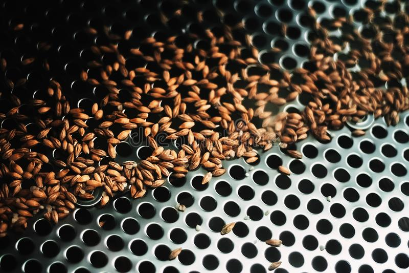 Les graines de malt sur un bluteur examinent comme partie du processus techological image libre de droits