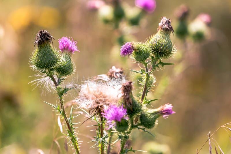 Les graines pelucheuses de chardon et les fleurs roses se ferment sous la lumière du soleil d'été photographie stock libre de droits