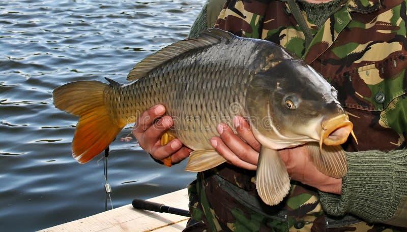 Les grandes carpes pêchent le trophée dans des mains de pêcheur photos stock