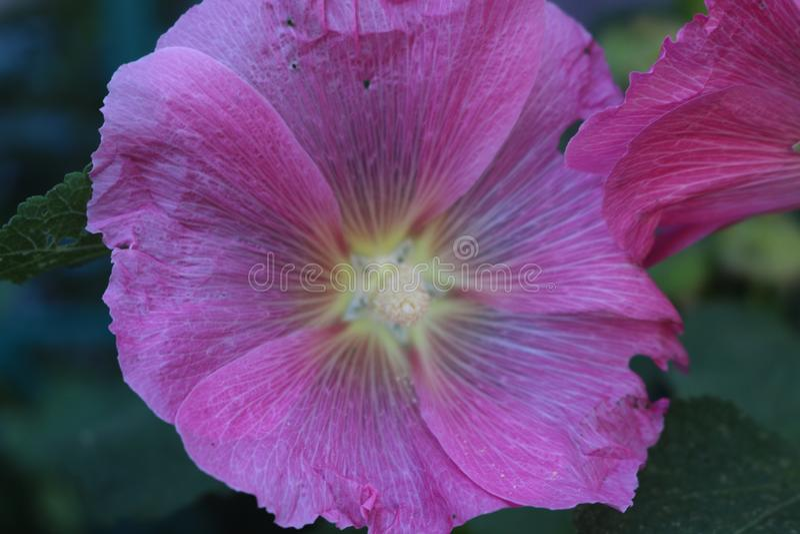 Les grandes fleurs de la mauve rose décorent des jardins et des cours des maisons image stock