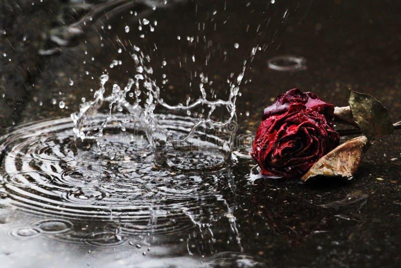 Les grandes gouttes de pluie tombent à la terre devant une rose défraîchie de rouge image libre de droits