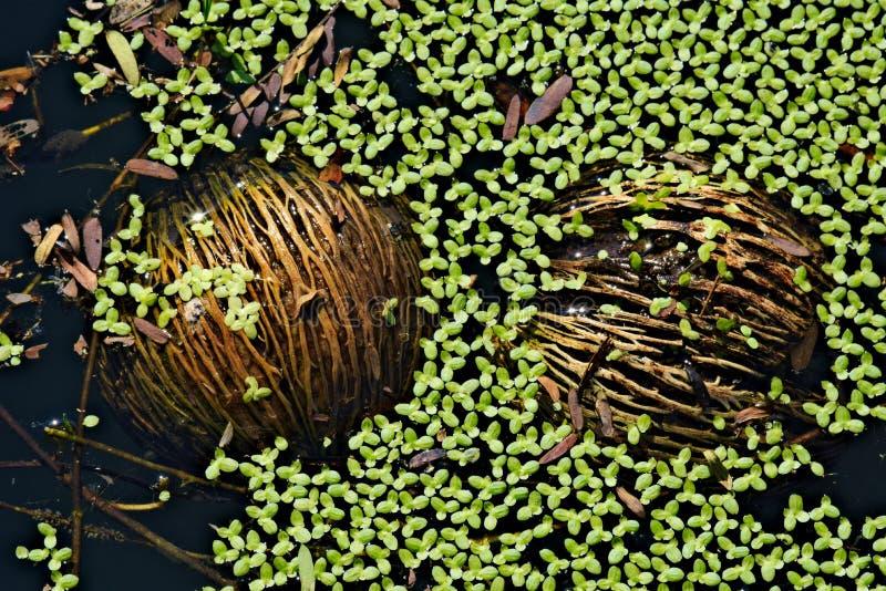 Les grandes graines thaïlandaises brunes d'arbre de ` de puanteur de puanteur de `, flottant dans des algues ont rempli étang tha photos stock