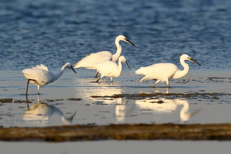 Les grands et petits hérons blancs chassent dans l'eau photos libres de droits