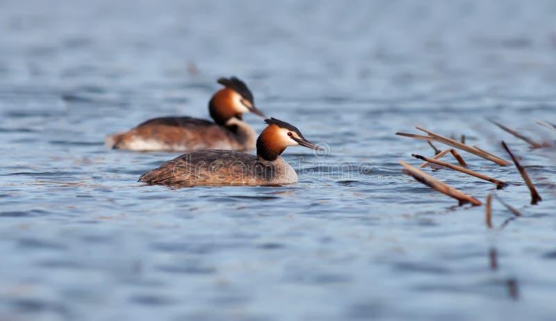 Les grands grèbes crêtés nagent dans les paires sur la surface de l'eau photographie stock