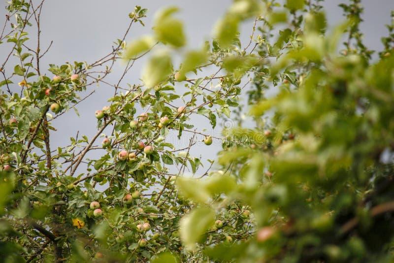 les grands groupes verts de pomme accrochent sur une pile des branches dans le champ de pommiers intensif fin juin image libre de droits
