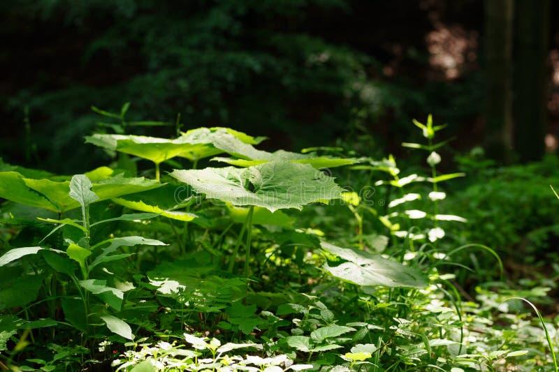 Les grands officinalis verts d'un Petasites de petasites vulgaris de feuille s'élevant dans la forêt, un rayon de lumière tombe l image stock