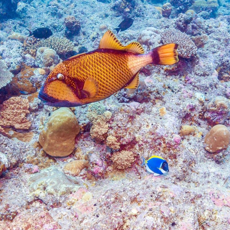 Download Les Grands Poissons De Déclencheur S'approchent Des Coraux, Maldives Image stock - Image du océan, natation: 77156579