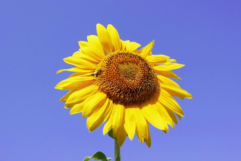 Les grands tournesols et abeilles sur le ciel et le fond blured aménagent en parc, tournesol, nature image libre de droits