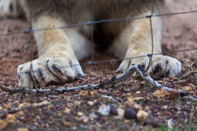 Les griffes et la cage du lion. photo stock