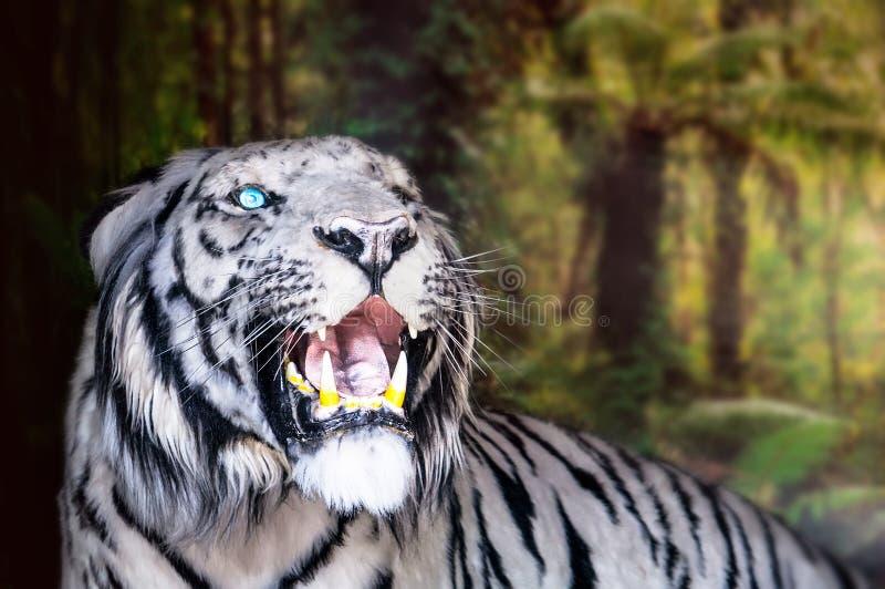 Les grondements de tigre de blanc grandes canines photo stock