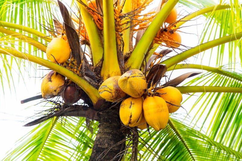 Les groupes de freen le plan rapproché de noix de coco accrochant sur le palmier photo libre de droits
