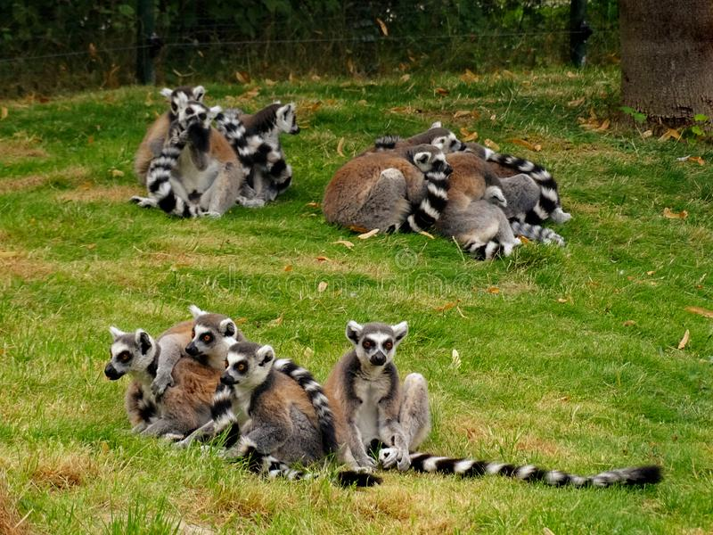 Les groupes de lemuren dans le zoo à Augsbourg en Allemagne photos libres de droits