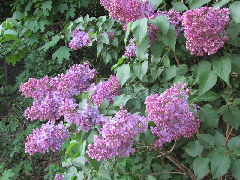 Les groupes de lilas, fleurissant pendant les jours chauds de peuvent photos libres de droits