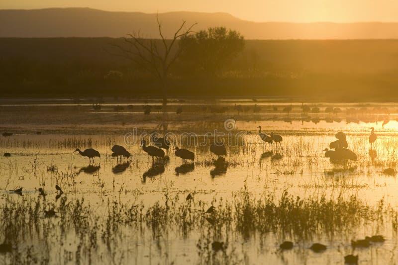 Les grues de Sandhill marchent sur le lac au lever de soleil à la réserve de Bosque del Apache National, près de San Antonio et d photo libre de droits