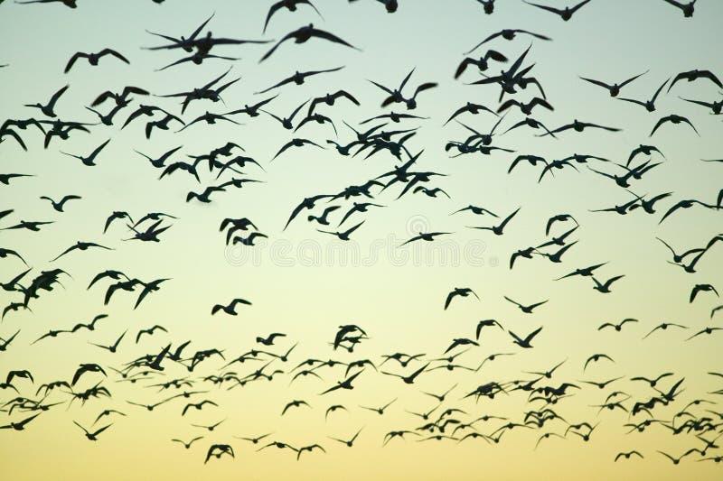 Les grues de Sandhill volent au-dessus de la réserve de Bosque del Apache National au lever de soleil, près de San Antonio et de  image stock