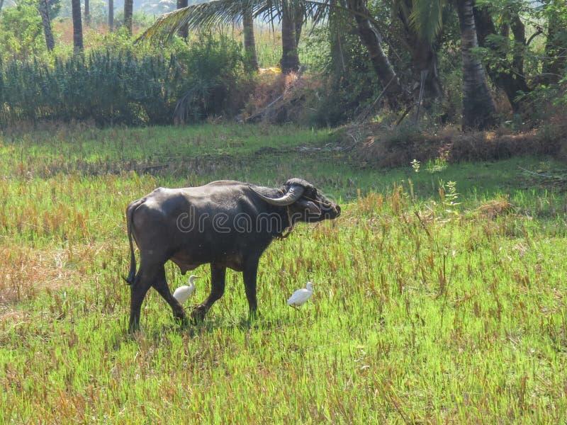Les hérons accompagnent la vache indienne à zébu marchant par le pré photos stock