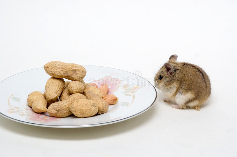 Les hamsters mangent des arachides photos stock