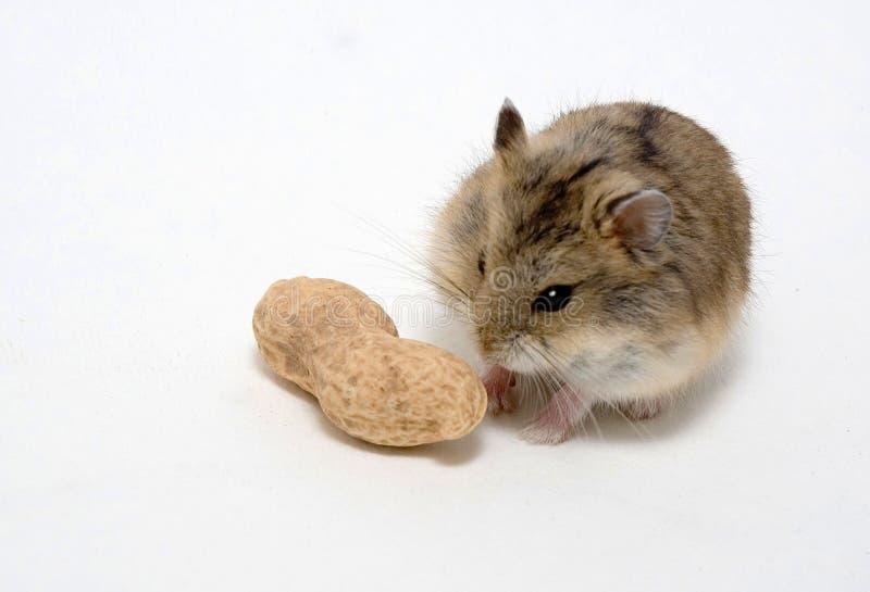 Les hamsters mangent des arachides photo stock