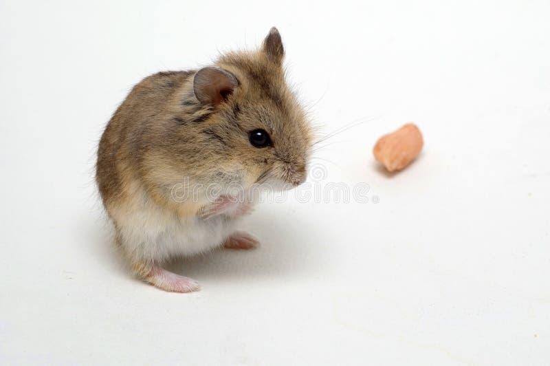 Les hamsters mangent des arachides photographie stock libre de droits