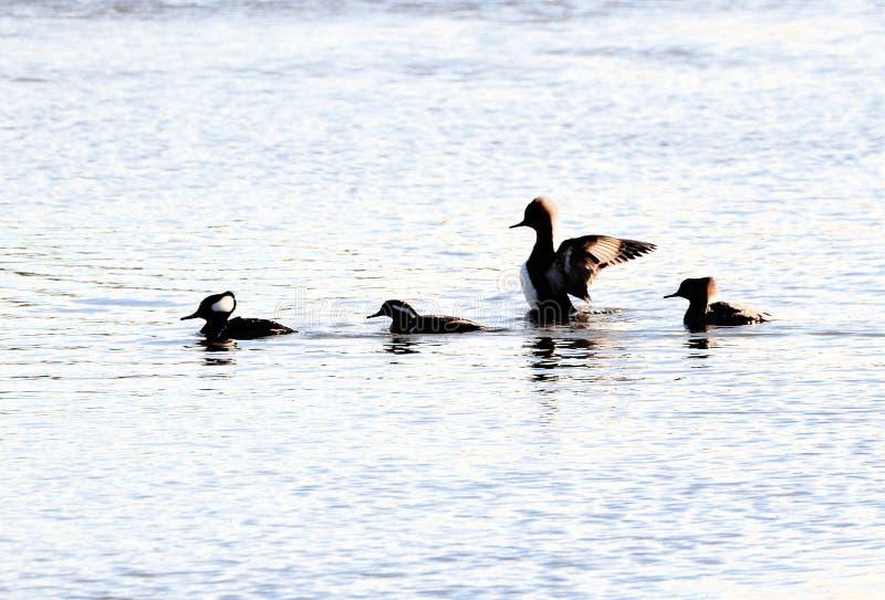 Les harles mènent la manière les poissons pour les autres oiseaux pataugeants photographie stock