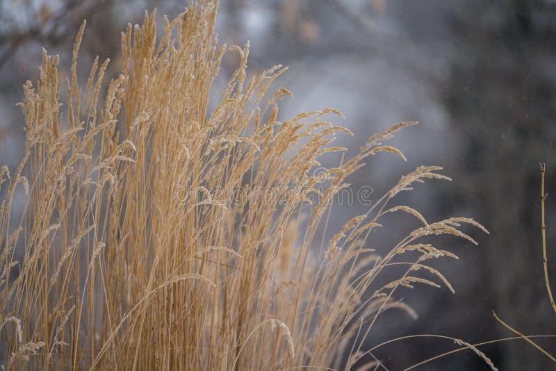 Les herbes d'or en hiver gris mat aménagent en parc image libre de droits