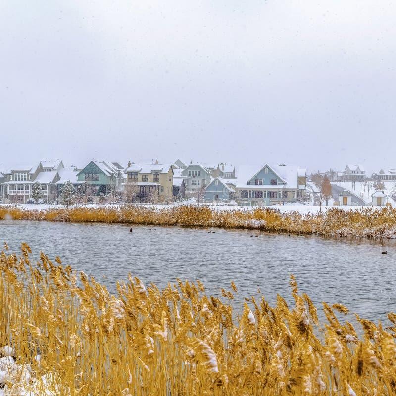 Les herbes de jaune de place s'élevant sur le rivage d'un lac ont couvert de neige fraîche en hiver photos libres de droits