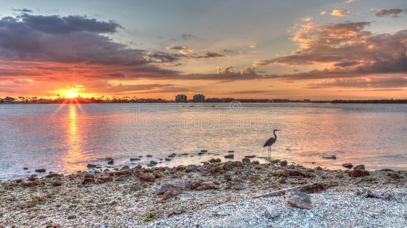 Les herodias grands d'Ardea de héron de grand bleu se tient devant un coucher du soleil photos stock