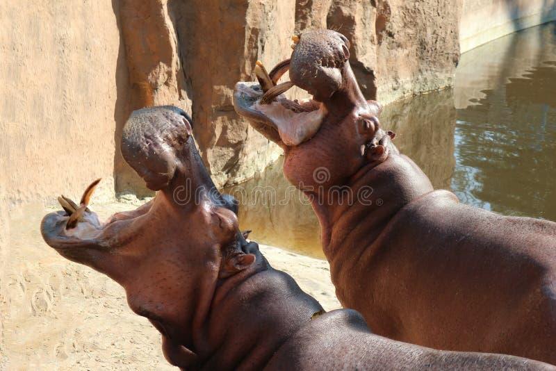 Les hippopotames ont ouvert leurs bouches attendant la nourriture images libres de droits