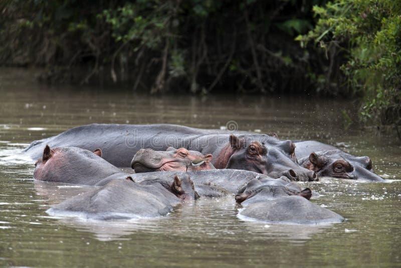 Les hippopotames sont dans le lac images stock