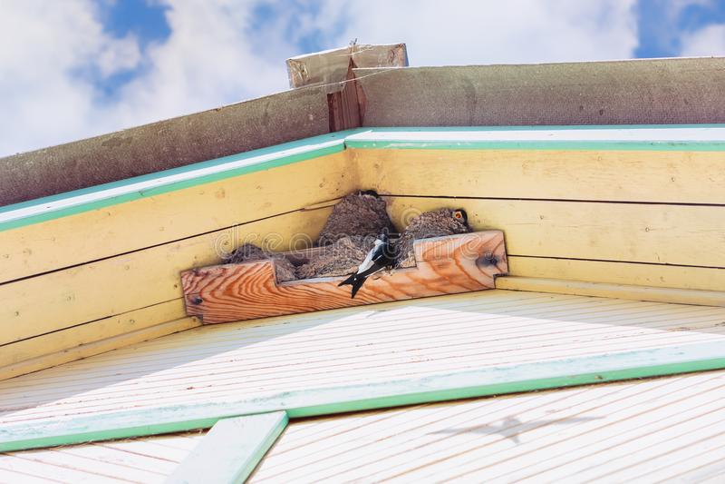 Les hirondelles élèvent des poussins dans les nids sous le toit d'une Chambre de village photo libre de droits