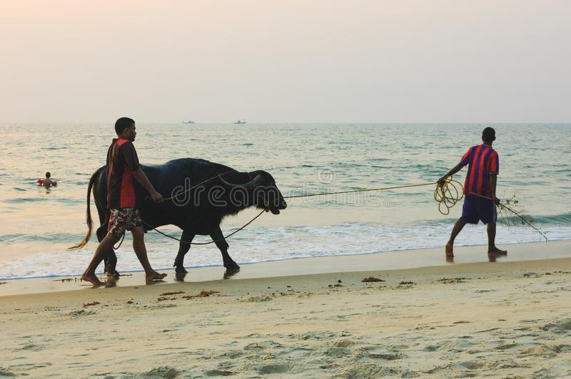 Les hommes indiens et le taureau marchant le long du Cavelossim échouent photo stock
