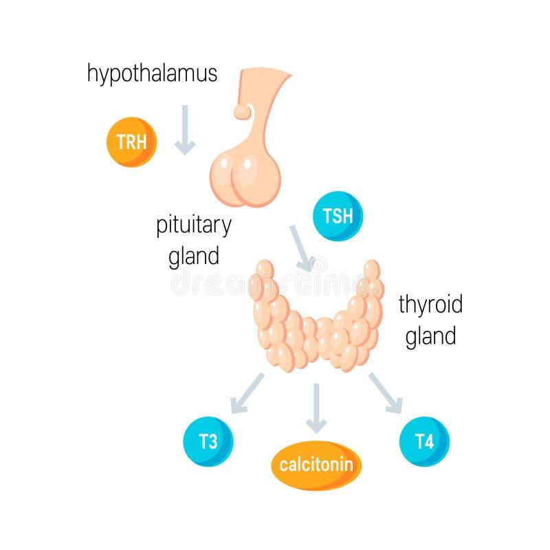 Les hormones thyroïdiennes dirigent illustration de vecteur