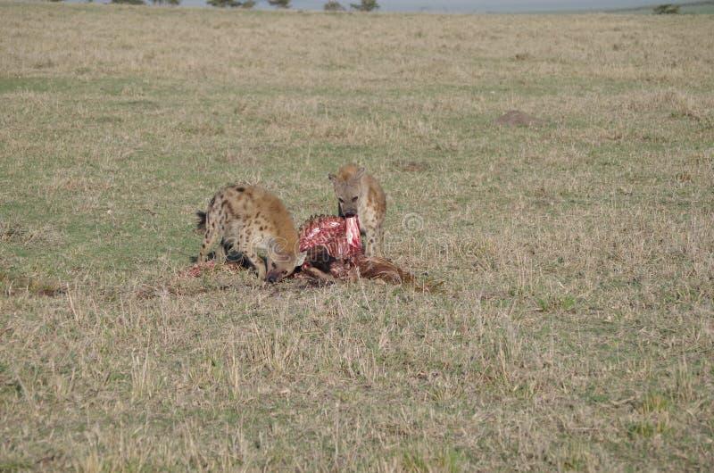 Les hyènes dans la consommation Wildabeast du Kenya après des lions sont de finition image libre de droits