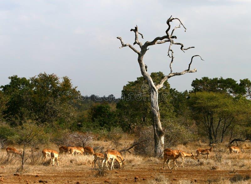les impalas africains aménagent la savane en parc photo stock