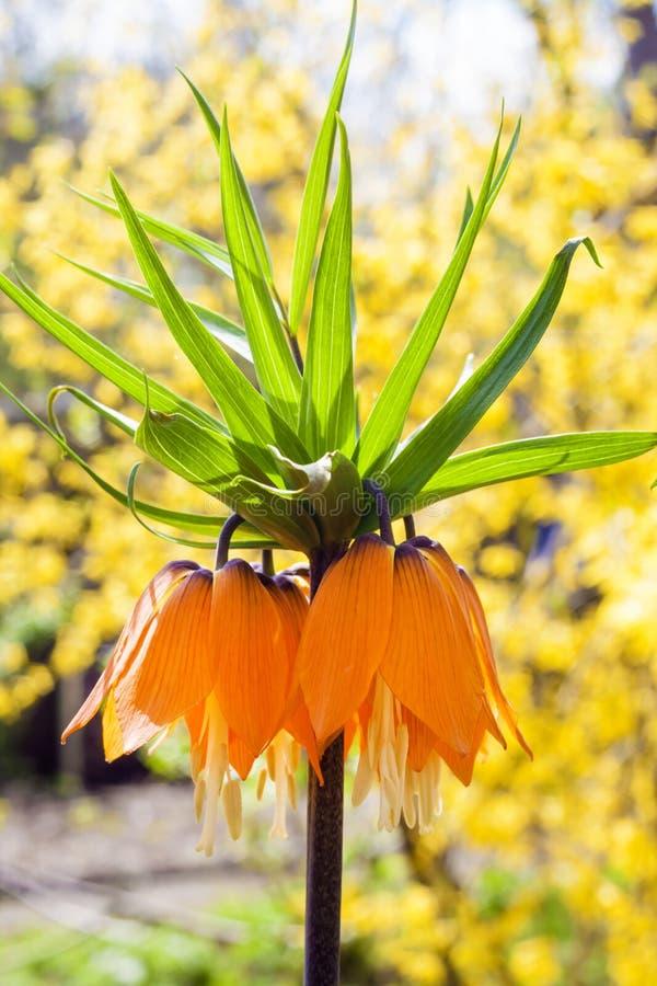 Les imperialis de Fritillaria de la couronne de Kaiser fleurissent sur le fond de floraison de forsythia image stock