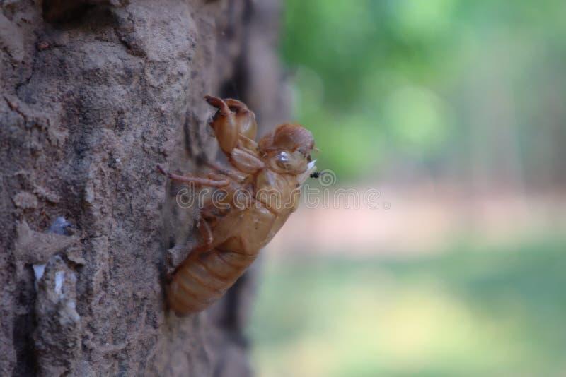 Les insectes de cigale muent sur des arbres, écorce, surfaces en bois, fonds naturels images libres de droits